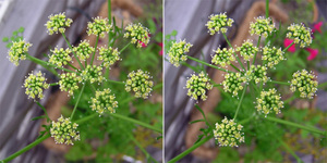 070605parsley01